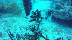 Tortuga verde enganchada en anzuelo de pesca. Locación: Bajo Copé, Santa Elena. Fotos: Daniela Hill P.