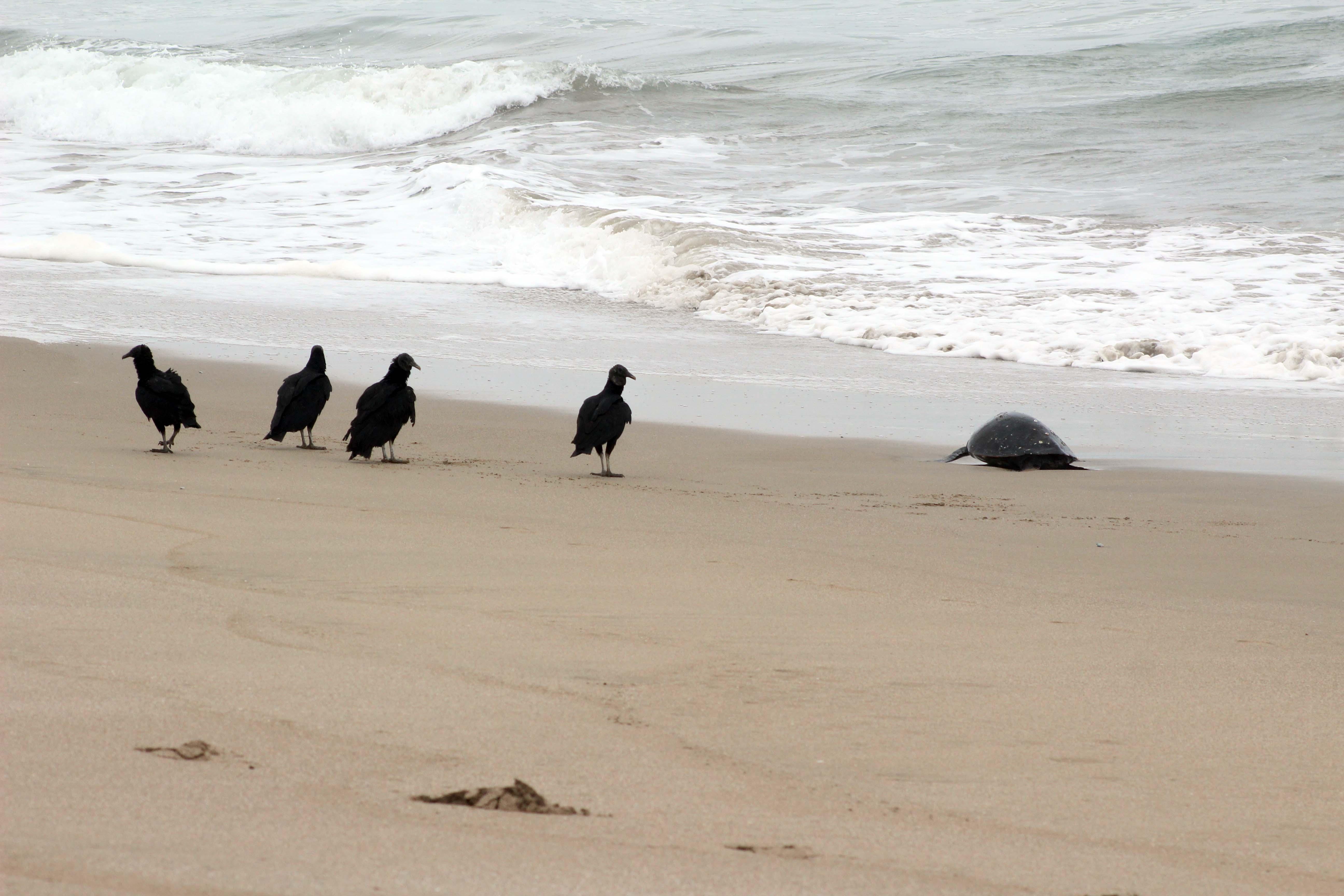 Al año muchas tortugas marinas se varan en esta playa con lesiones de todo tipo.